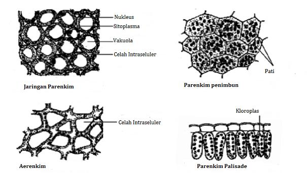 Fungsi Jaringan Parenkim: Pengertian dan Strukturnya