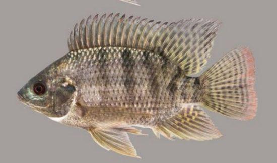Cara Budidaya Ikan Nila Yang Menguntungkan