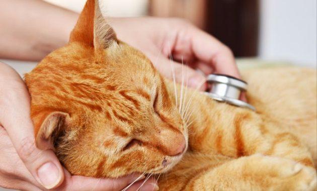 cara mengobati kucing sakit